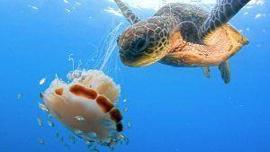 medusas alimento