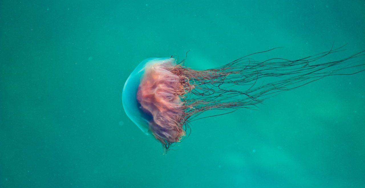 medusas mediterraneo